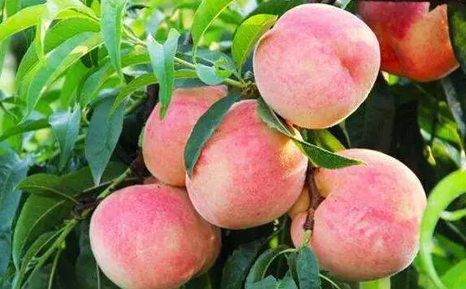 阳山水蜜桃今年涨价空间不大!口感好于去年