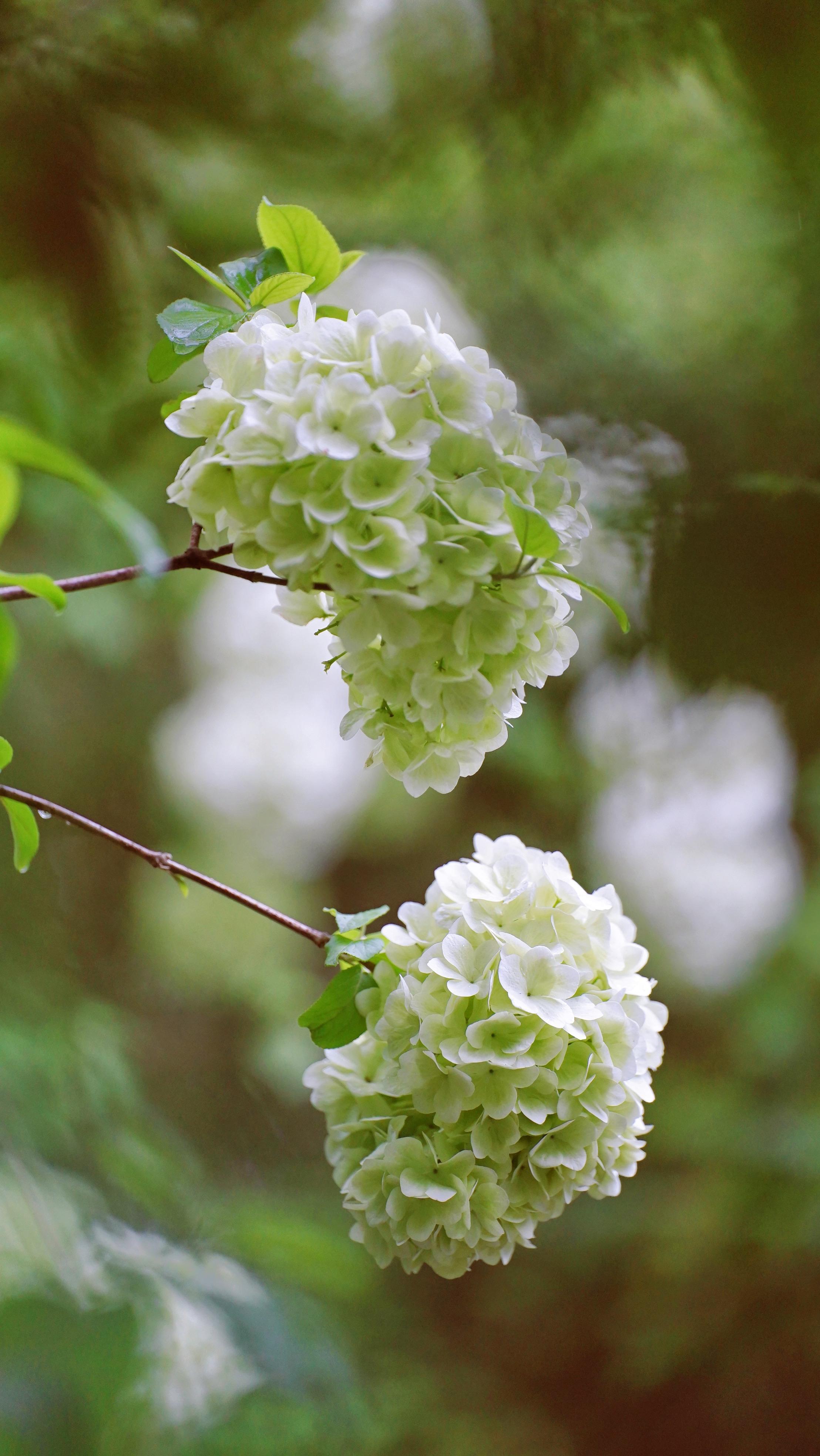 当片片樱花落尽,躲在角落里的木绣球静静开放,雪球满树,清香四溢。寄畅园的几棵木绣球目前正值初花期,花朵自带萌萌的淡绿色,圆滚滚的花球倒映在湖面上,和水里红色的锦鲤相映成趣。大约一周后,木绣球进入盛放期,花朵会全部变成白色。
