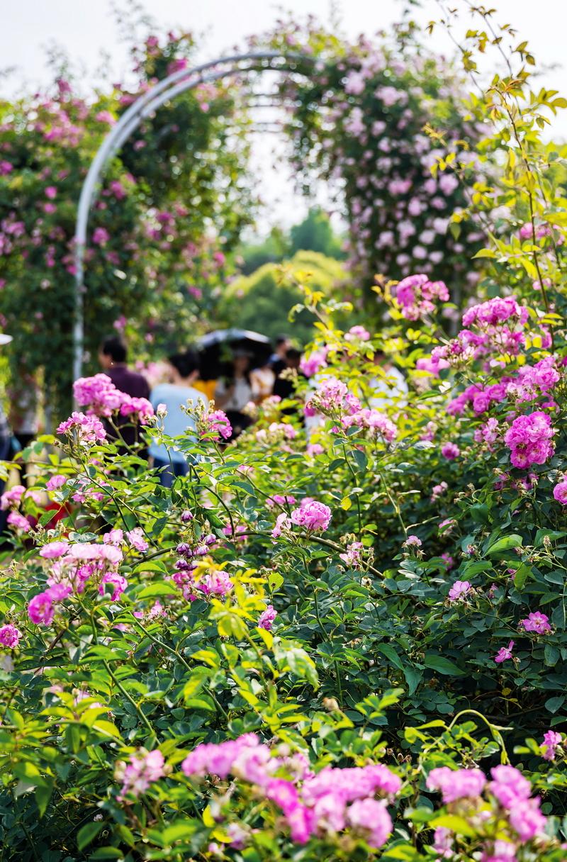 离贡湖湾不远的尚贤河湿地公园深处掩映着一大片蔷薇花。5月,温柔的粉色蔷薇花朵就爬满了路边拱形的花架,让人见之欣喜。